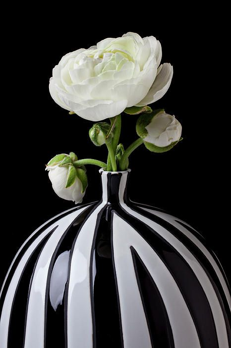 White Ranunculus In Black And White Vase by Garry Gay with Pin-It-Button on FineArtAmerica