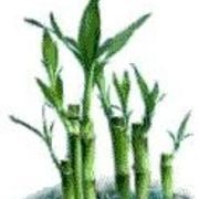 17 Best Images About Garden Plant Bamboo On Pinterest