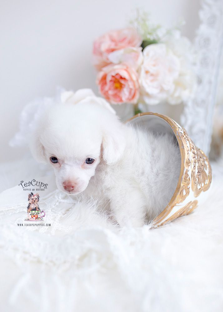 White Teacup Puppy : white, teacup, puppy, Maltese, TeaCup, Puppies, Teacup, Boutique, Puppies,, White, Poodle,, Poodle
