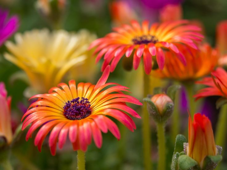 Who says flowers are boring... - Beautiful mesembryanthemum flowers. Straight…