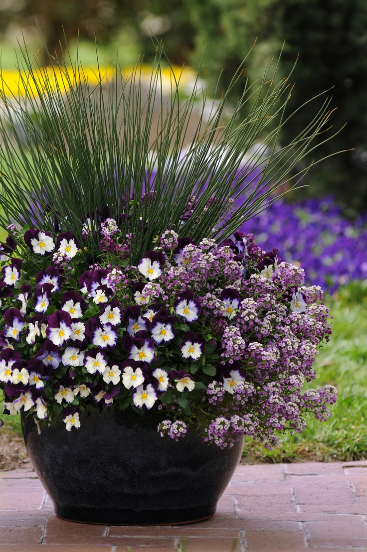 Cool Wave Pansy With Juncus And Alyssum Wave Rave Com