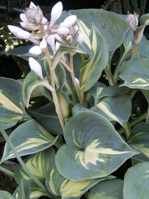 Hosta  Dream Queen....medium size, large round blue-green corrugated leaves w/ narrow creamy center.