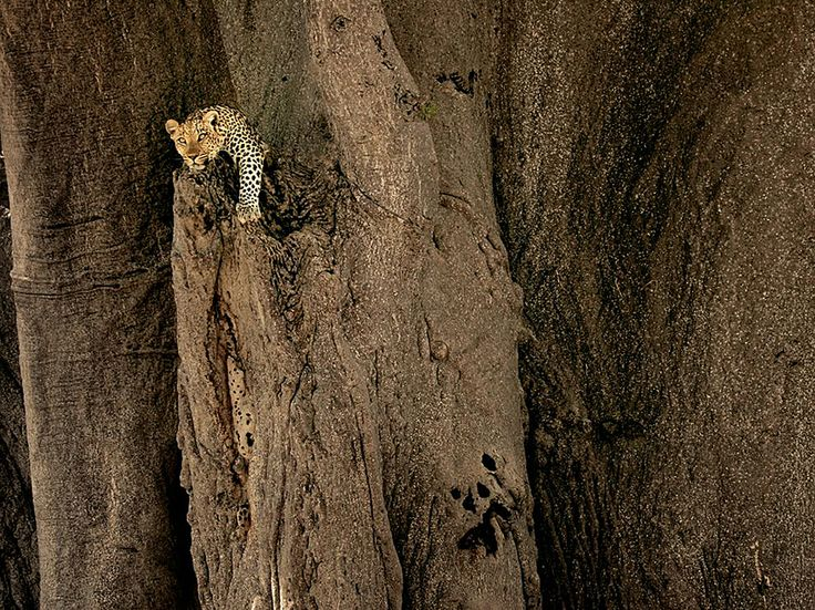 Leopardo, delta dell'Okavango Fotografia di Beverly Joubert