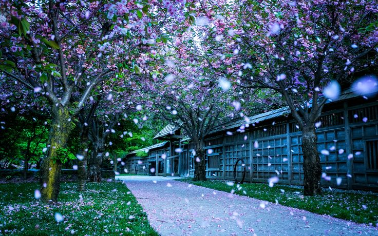 Walked through the cherry blossoms in Mississauga Valleys Park, Canada #neverhaveiever @StudentUniverse