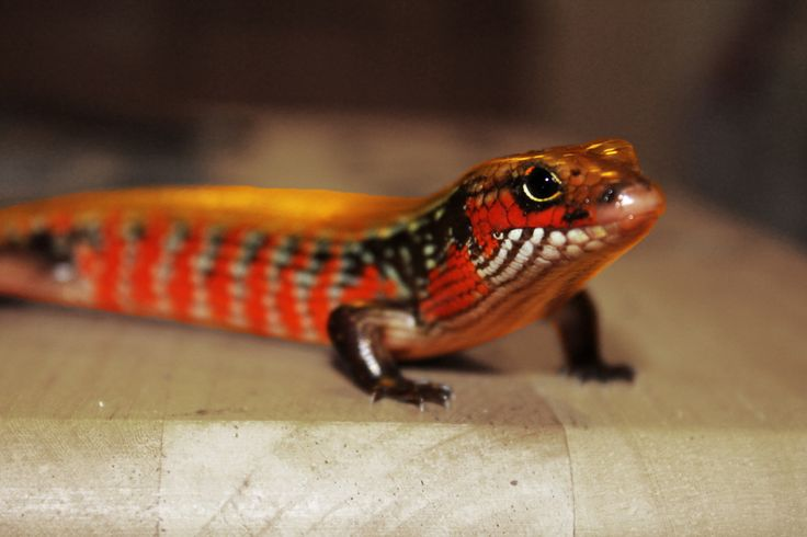 Colorful Pet Lizards 63 best Weird &...