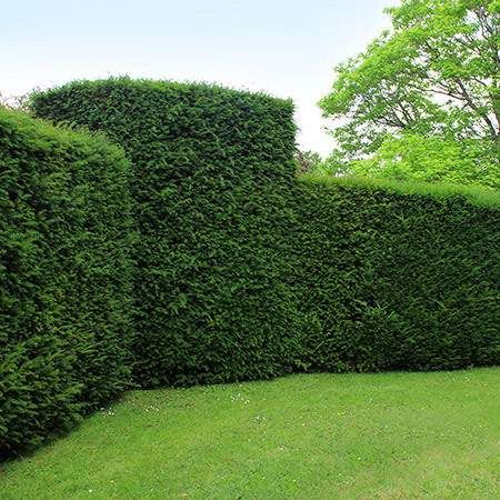 Perfect for privacy hedges and shaping - Japanese Yews are lively evergreens with thick foliage that grows together to create a solid wall to provide your yard and home with privacy. They will block your neighbors out with their thick, dense foliage.   Because Japanese Yews can be heavily pruned without making a...