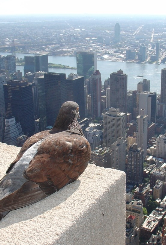 Empire State pigeon in Koreatown, New York City • photo: ZeroOne on Flickr
