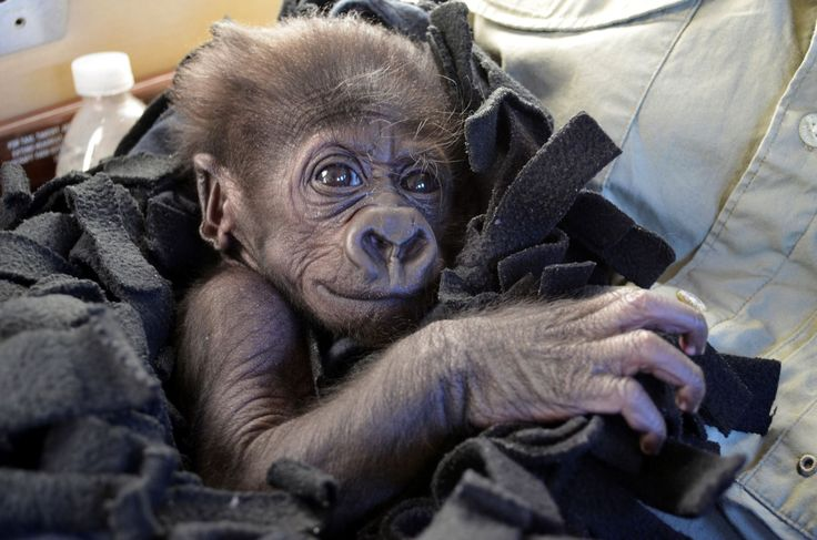 COLUMBUS, Ohio — A baby gorilla raised by human keepers wearing hairy vests has moved to a new Ohio zoo as the search for a surrogate mother for her continues.The female gorilla named Kamina was born in August at...