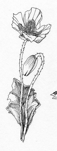 Botanical Flower Line Drawing : Poppy flowers poppies and botanical illustration