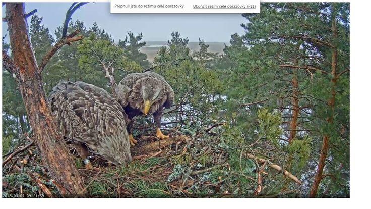 Orel mořský stavba hnízda. Sea eagle builds its nest