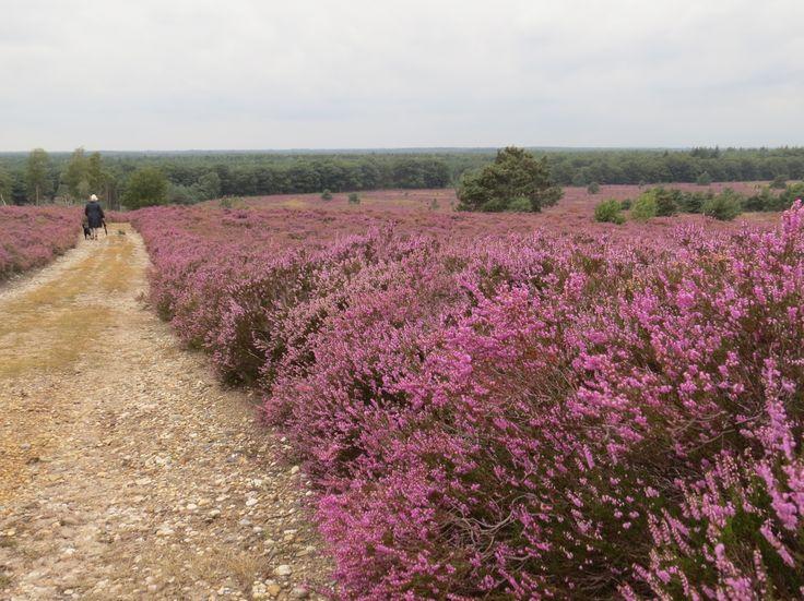 2014-08 Prachtige paarse wallen op de Sprengenberg