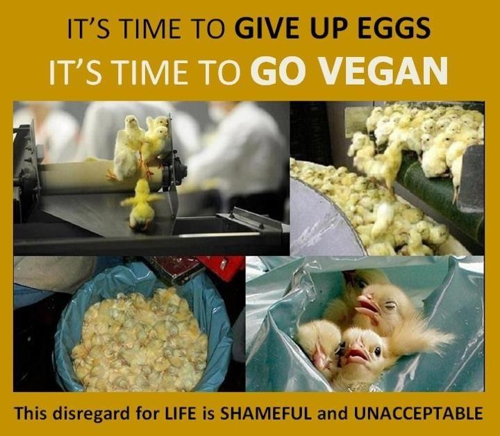 this kills me :( btw, if you click on the picture, it will take you to lots of alternatives to using eggs when you're baking... poor baby chicks :( there's no excuse for this abuse :(