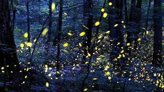 Шоу светлячков: фантастическая синхронная волна света http://kleinburd.ru/news/shou-svetlyachkov-fantasticheskaya-sinxronnaya-volna-sveta/  В мире существует около 2000 видов светлячков, однако так называемые синхронные светлячки, обладающие невероятным умением координировать производимые ими вспышки света, обитают лишь в нескольких уголках нашей планеты. Чтобы увидеть их восхитительное световое шоу в западном полушарии, нужно отправиться в США, в Национальный парк Грейт-Смоки-Маунтинс. «В…