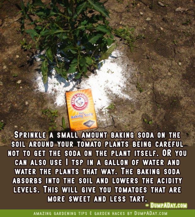 dumpaday garden hacks baking soda for sweeter tomatoes
