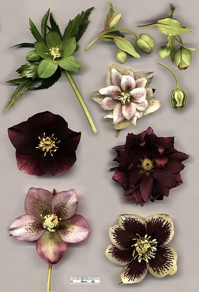 Poisonous Plants:  Hellebore species and hybrids: Helleborus viridis (top left); Helleborus foetidus (top right) with cross-section; flowers of various specimens of Helleborus × hybridus, including doubles.