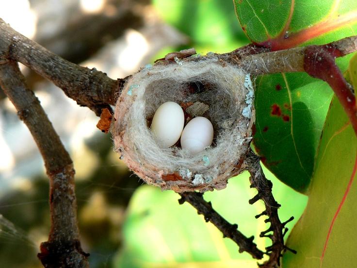 Hummingbird eggs Jamaica Nuff Said... Pinterest