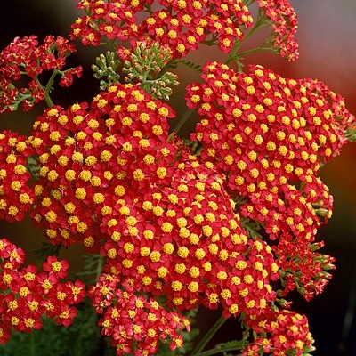 Achillea 'Paprika' will make a vignette with the 'Mighty Chestnut' daylily and two sizes of orange-red marigolds. NOTE: This is NOT the true color, and it doesn't go with the daylilies at all.: Spring Perennials, Red Flower, Achillea Millefolium, Inch Tall, Deer Resistance, Yarrow Paprika, American Meadow, Fire Engineering, Engineering Red