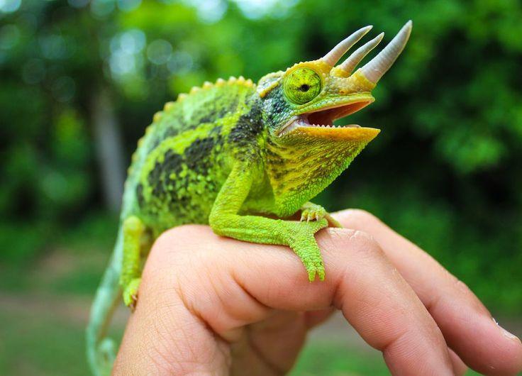 Photograph by Marco Mazza Jackson's Chameleon A male Jackson's Chameleon shows it's colors