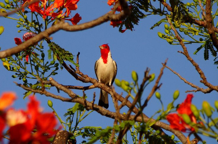 Galo-da-campina, Mato Grosso do Sul -  Pantanal