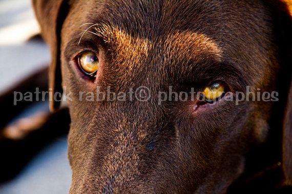 Photo Labrador Chocolat Fichier Numérique par PatrickRabbatPhotos