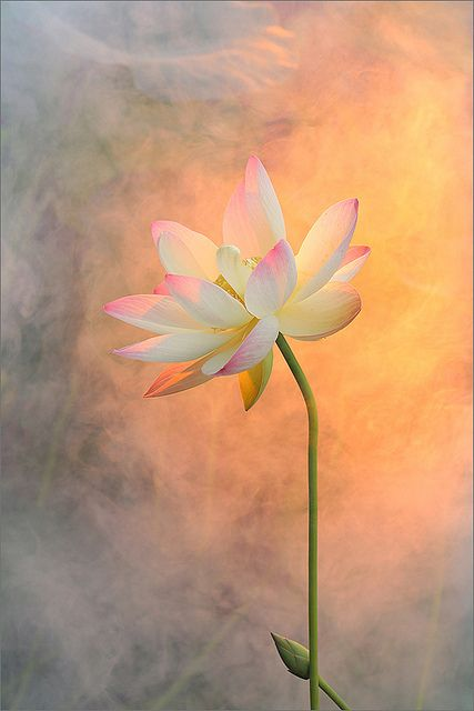 Lotus Flower Surreal Series - DD1A0969-800 | Flickr - Photo Sharing!❤️
