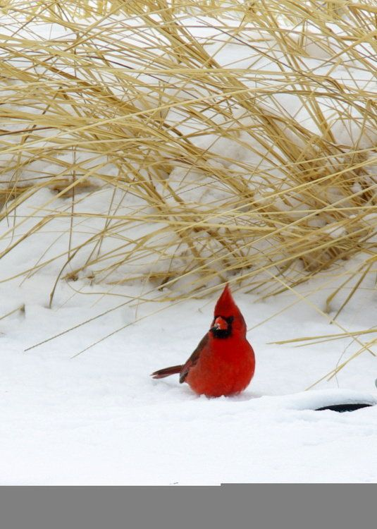 Male Cardinal in Snow. Oklahoma