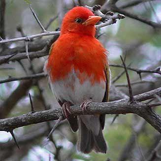 Red-headed Weaver, Kruger National Park