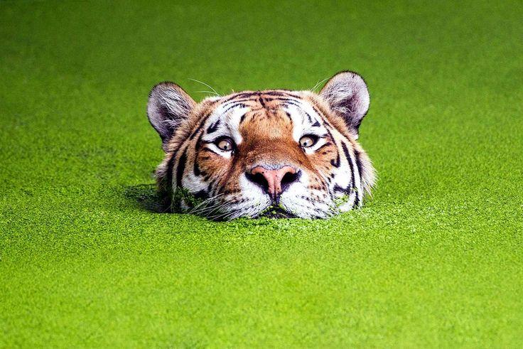 Фото Морда тигра плывущего по болоту покрытому зеленой тиной