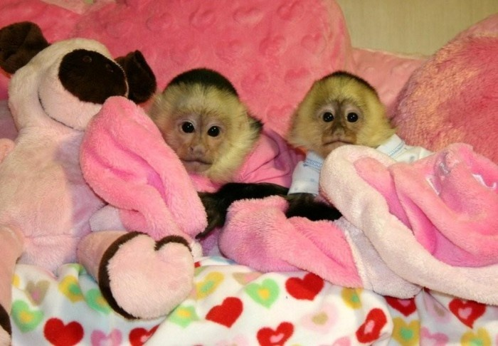 capuchin monkey for sale - Google Search