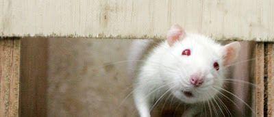 Cientistas põem ratos 'a correr' para avaliar benefícios cardíacos: ift.tt/2i8JwCA