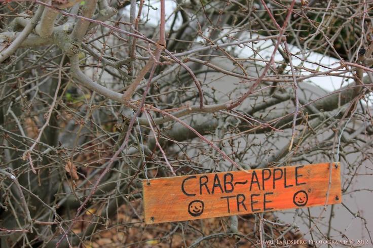 CLP0041 - crab-apple tree