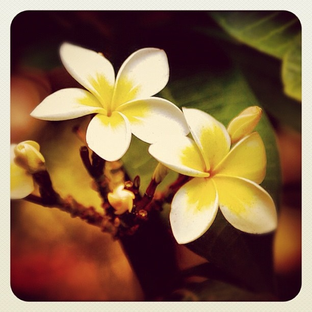 Bondi Frangipani #bondi #frangipani #flora #flower #Spring #sydney