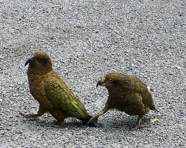 New Zealand's parrot, the bold Kea.  Where do you think you're going?