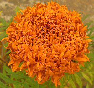 Tagetes erecta - Aztec marigold