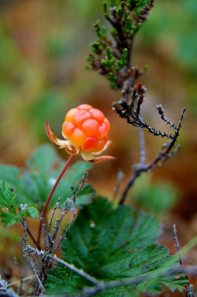 Cloudberry grows on the swamps. It is hard to find and it's also a very valued berry.
