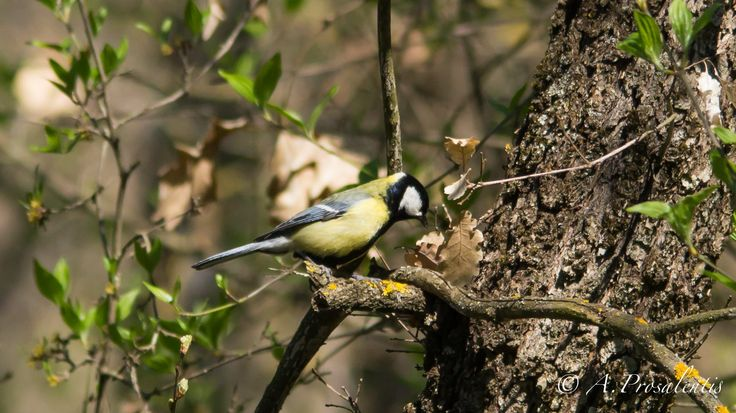 Parus major by Ordinary Mortal on 500px