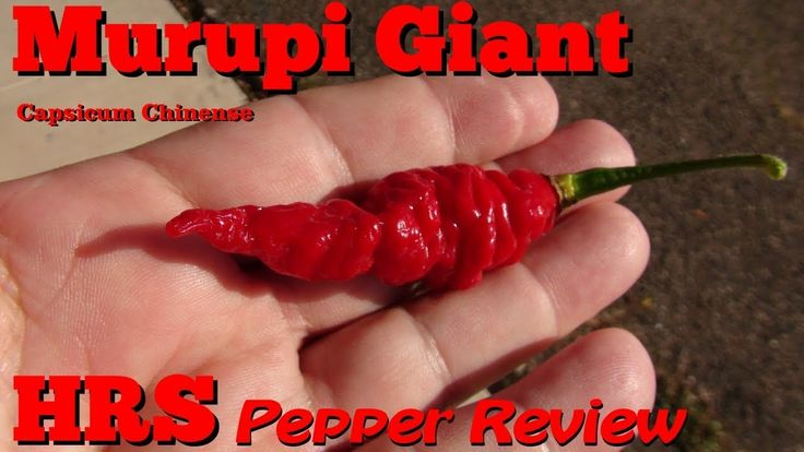 ⟹ Murupi Giant Pepper, Capsicum chinense, Plant and pod review