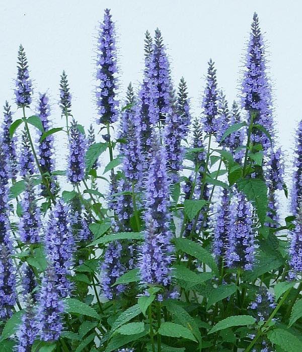 Agastache Astello Indigo Long Lasting Deep Blue Flower
