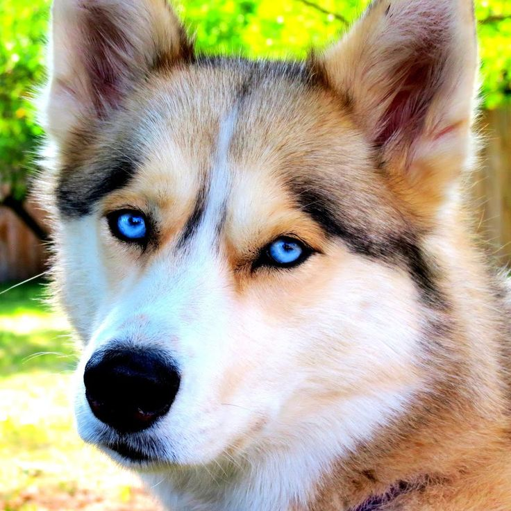 This Channel is all about our Siberian Huskies, Shelby, Memphis, and Oakley (also Shiloh, who passed over the Rainbow Bridge on Jan 17th, 2013! We post fun v...