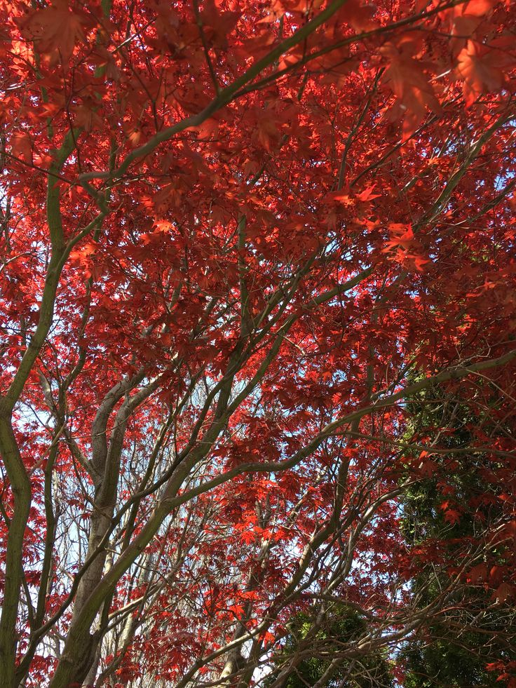 My Japanese maple in the spring.