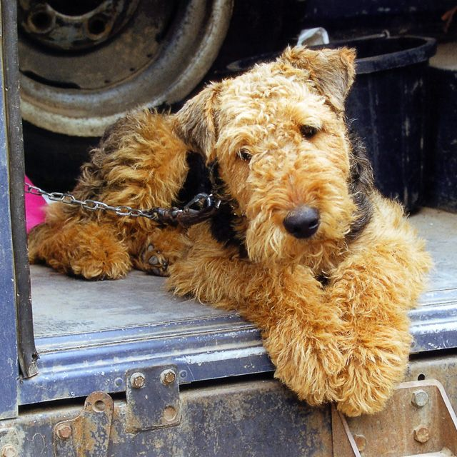 airedale terrier breeders 95 best airdale terrier love images on pinterest 3851
