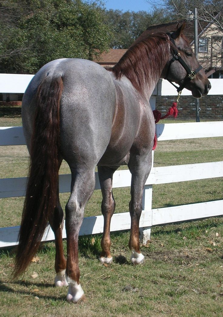 """Liver Chestnut Roan. Same thing as a red roan only the red (chestnut) is a liver instead of a simple red tone. It's believed there is a modifier that is yet to be identified that says whether a horse will be a """"simple"""" chestnut or a """"liver"""" chestnut. Some believe sooty on chestnut causes the liver look."""