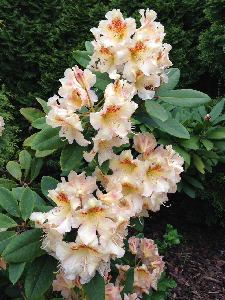 Žlutý rododendron