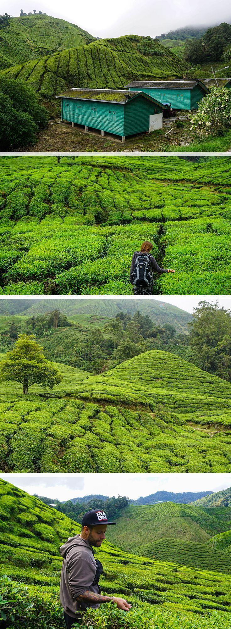 Die Cameron Highlands in Malaysia sind berühmt für ihre Teeplantagen. Deshalb …