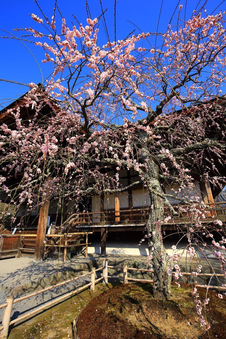 Kyoto Tenryu-ji Temple plumblossom