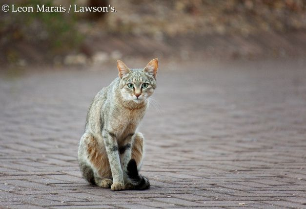 African Wild Cat (Felis lybica), #Kruger #cats #wildlife #safari