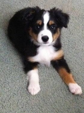 MINI Australian Shepard. Dream dog!!