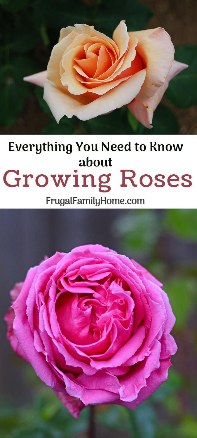 Tips to help you grow beautiful roses in your backyard garden. From planting to pruning, everything you need to know to grow roses in your garden.