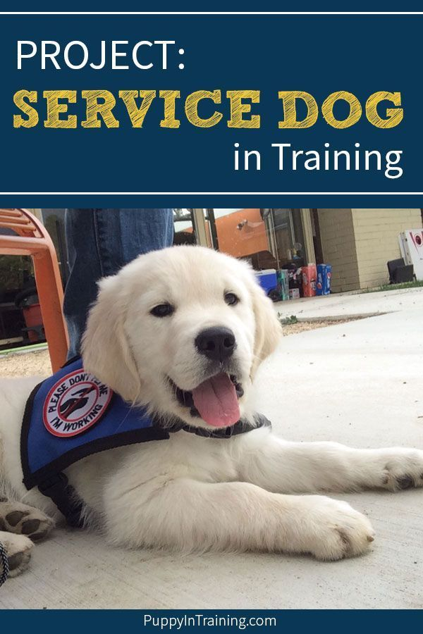Project Service Dog In Training Service Dog Training Service