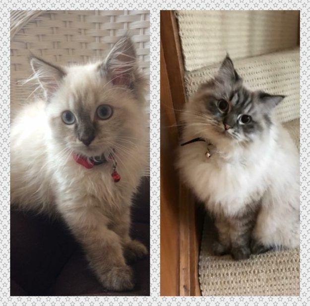 Colorpointed Cats Transition Ragdoll Cats Color Progression Photos Https Www Floppycats Com Colorpointed Cats Tra Cat Colors Ragdoll Cat Ragdoll Cat Colors